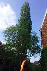 before Crown reduction on a Lombardy poplar in Macclesfield