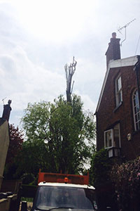during Crown reduction on a Lombardy poplar in Macclesfield