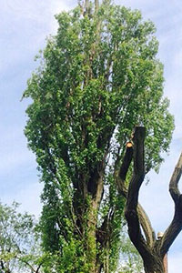 after Crown reduction on a Lombardy poplar in Macclesfield