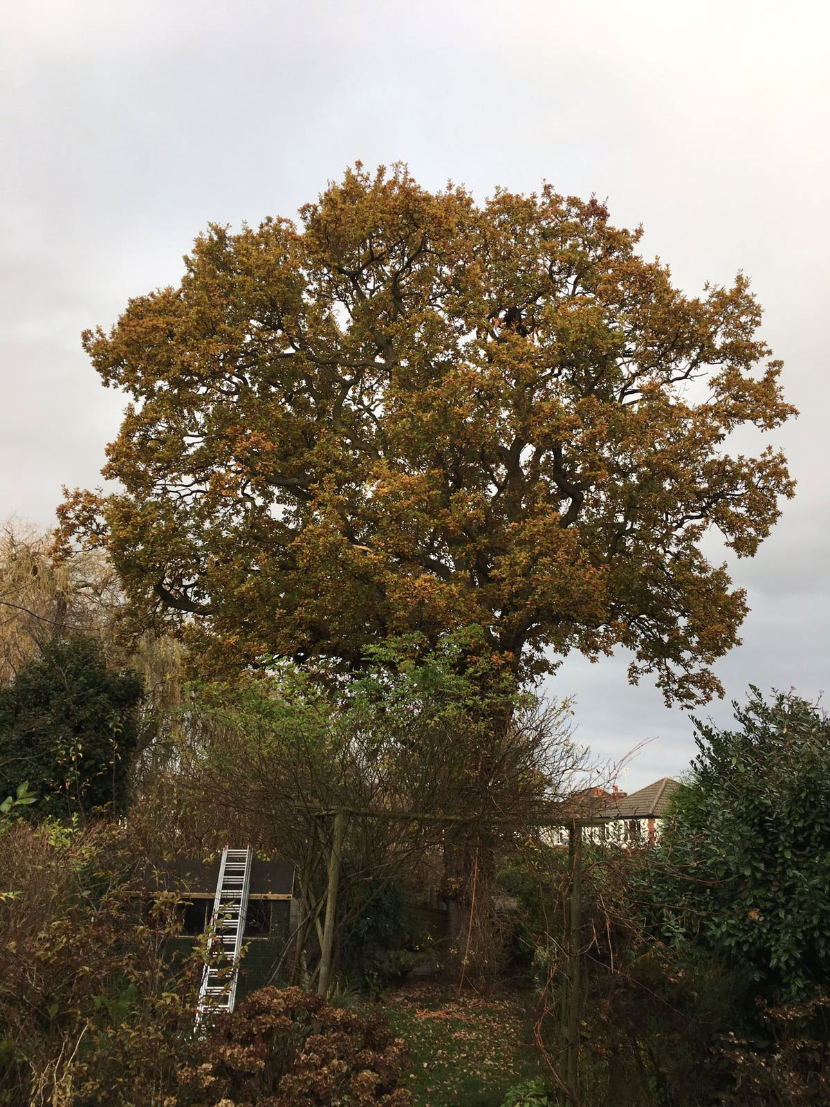 before Crown thinning and deadwood removal on an oak tree in Cheadle Hulme