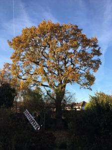 Crown thin oak Cheadle Hulme after