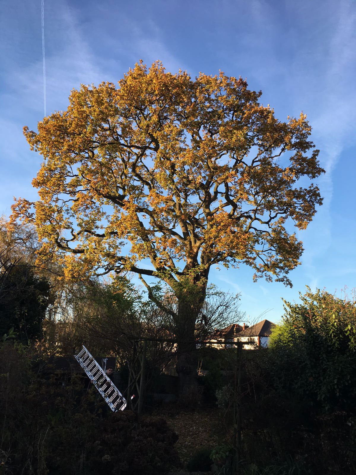 after Crown thinning and deadwood removal on an oak tree in Cheadle Hulme