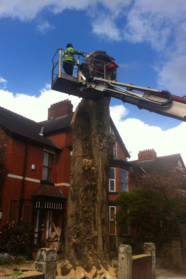 use of man lift during Removal of large poplar tree Chorlton