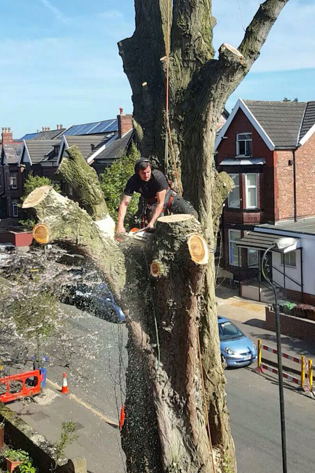 during Removal of large poplar tree Chorlton
