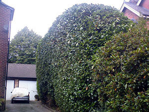 hedge trimming Macclesfield after